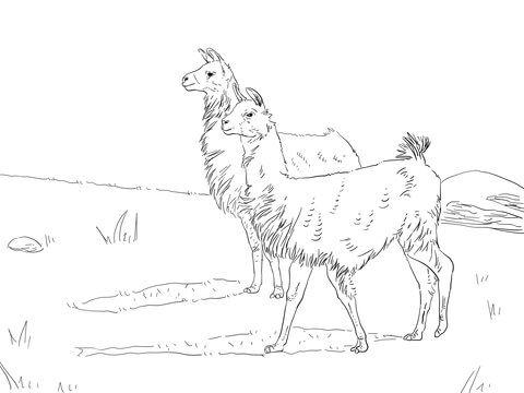 Dos Llamas Dibujo para colorear. Categorías: Llama. Páginas para ...