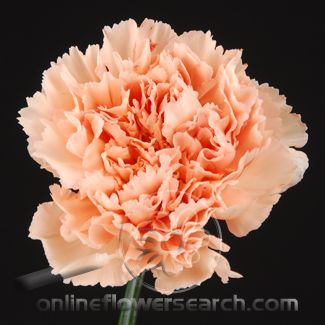 Carnation Peach Carnations