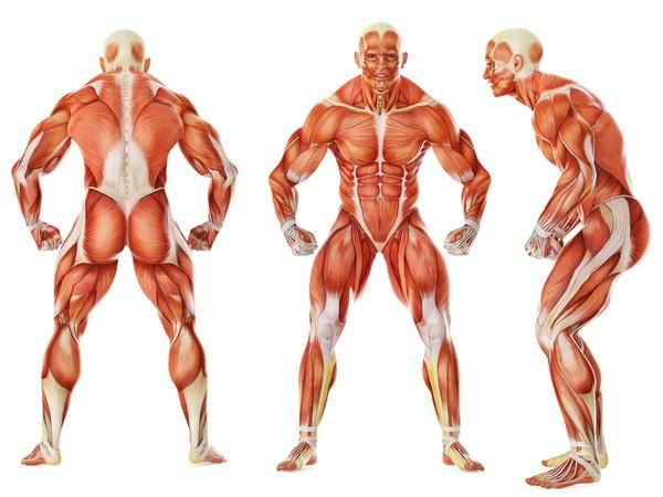 sistema-muscular-quais-diferentes-tipos-de-problemas.jpeg (600×450 ...