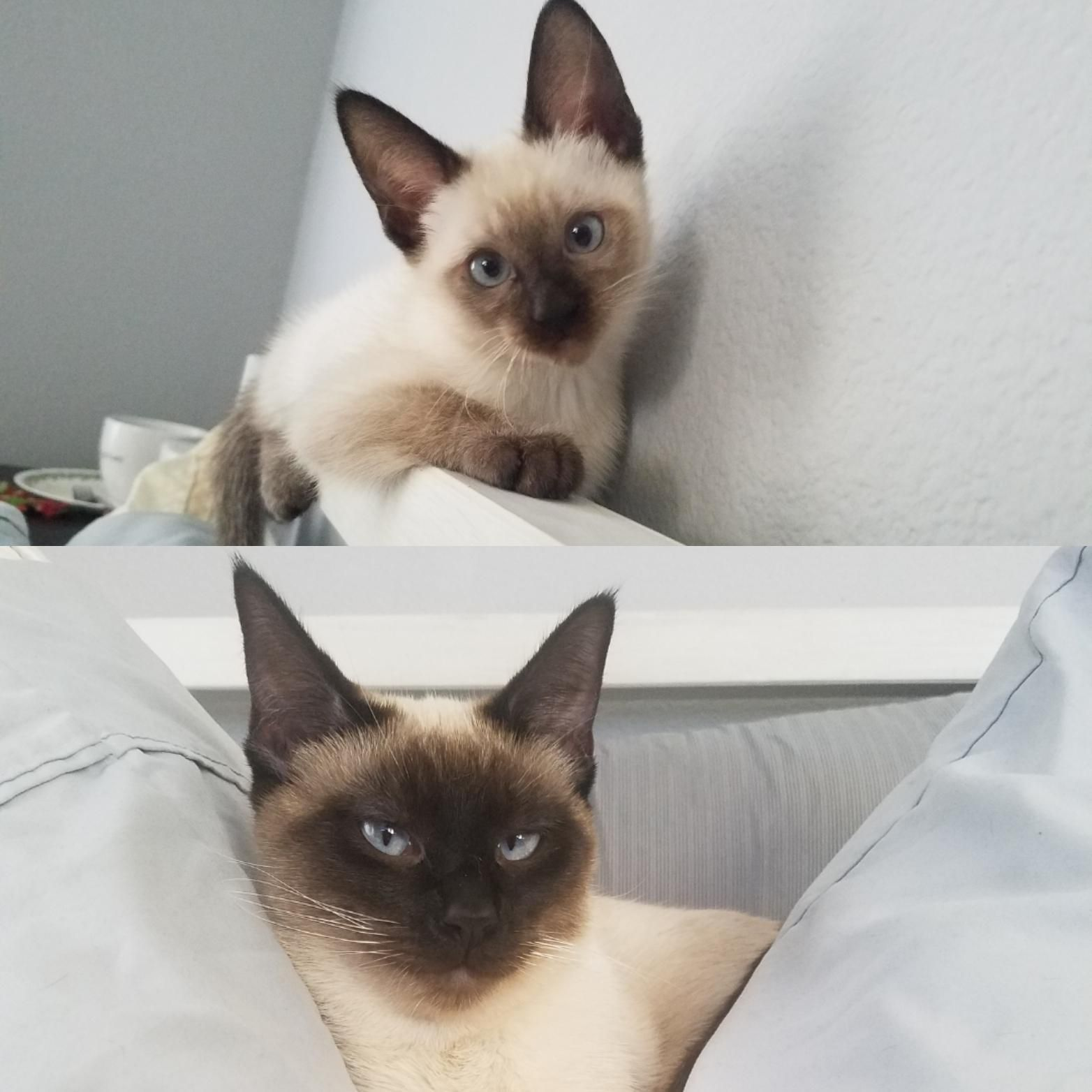 My Siamese Kitten At 3 Months Vs 11 Months The Top Picture Makes Her Look Eyebrowless Aww Cute Animals Cats Dogs Siamese Kittens Cats Siamese Cats