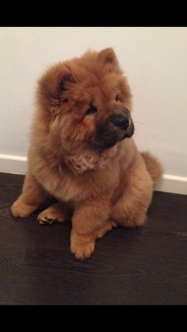 Idea By L B On Chow Chow Chow Chow Puppy Cute Dogs And Puppies