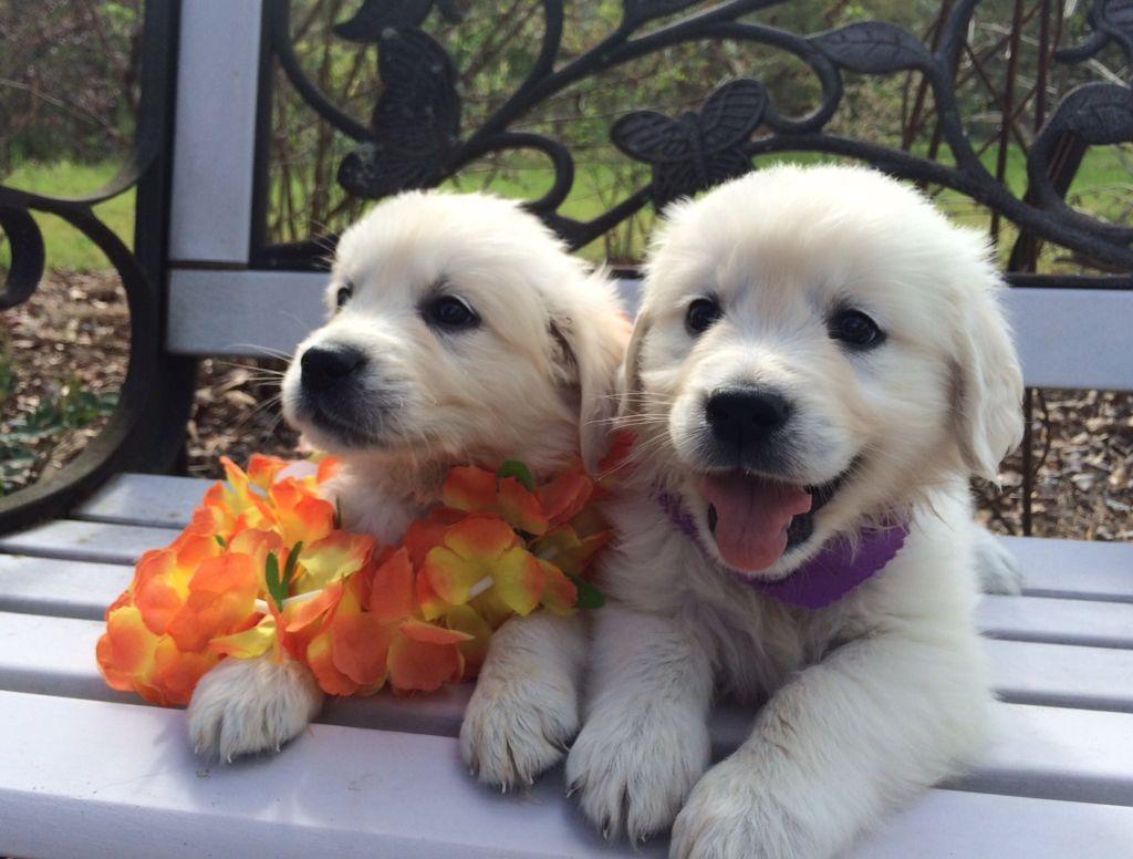 English Cream Golden Retriever Puppies Stoneretrievers Com
