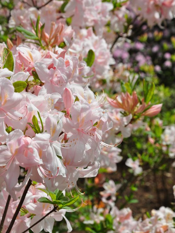 How to Grow Azaleas and Rhododendrons