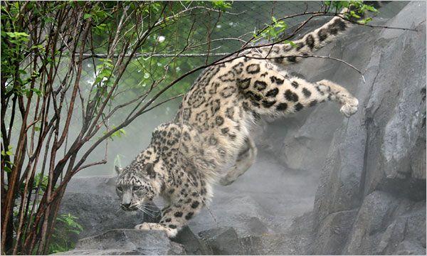 Leopards In The Mist Published 2009 Snow Leopard Snow Leopard Endangered Leopards