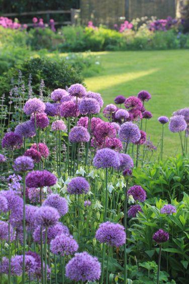 Alliums In The Flower Border Purple Garden Flower Garden Plants