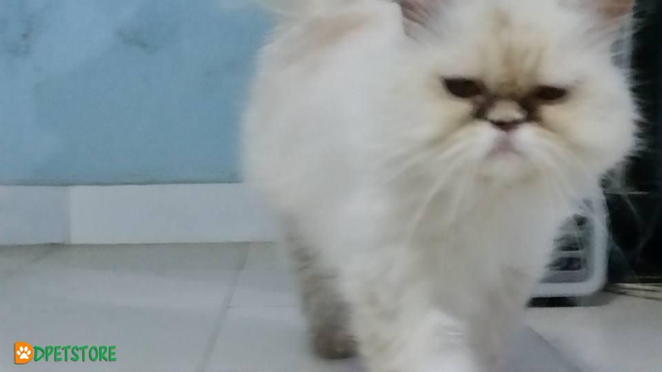 Extreme Punch Face Big Round Eyes Persian Cats For Sale Persian