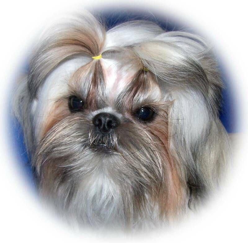 Beautiful Imperial Shih Tzu Shih Tzu Imperial Shih Tzu Chinese Imperial Dog