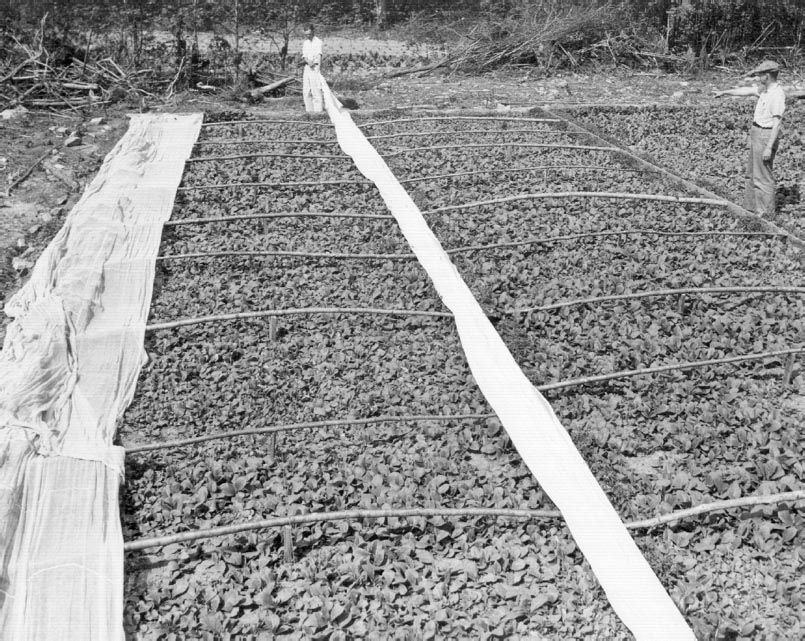 Tobacco seedbeds Farm images, History of tobacco