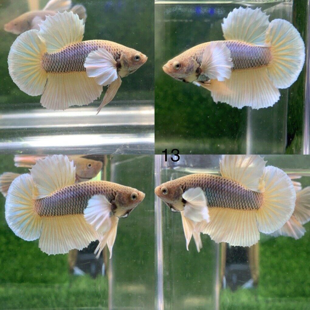 Betta Live Fish Male Dumbo Yellow Hmpk Please Read Description Befone Buy In 2020 Betta Fish Betta Live Fish