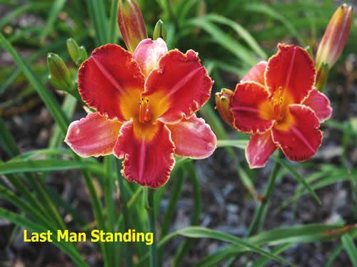Last Man Standing daylily