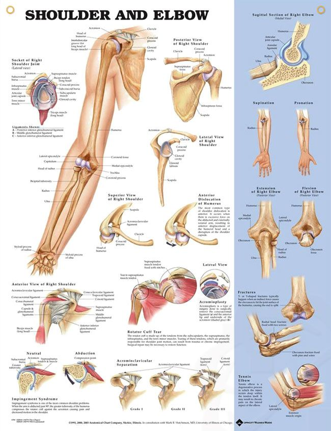 Shoulder and Elbow 20x26 | Anatomy, Muscles and Shoulder