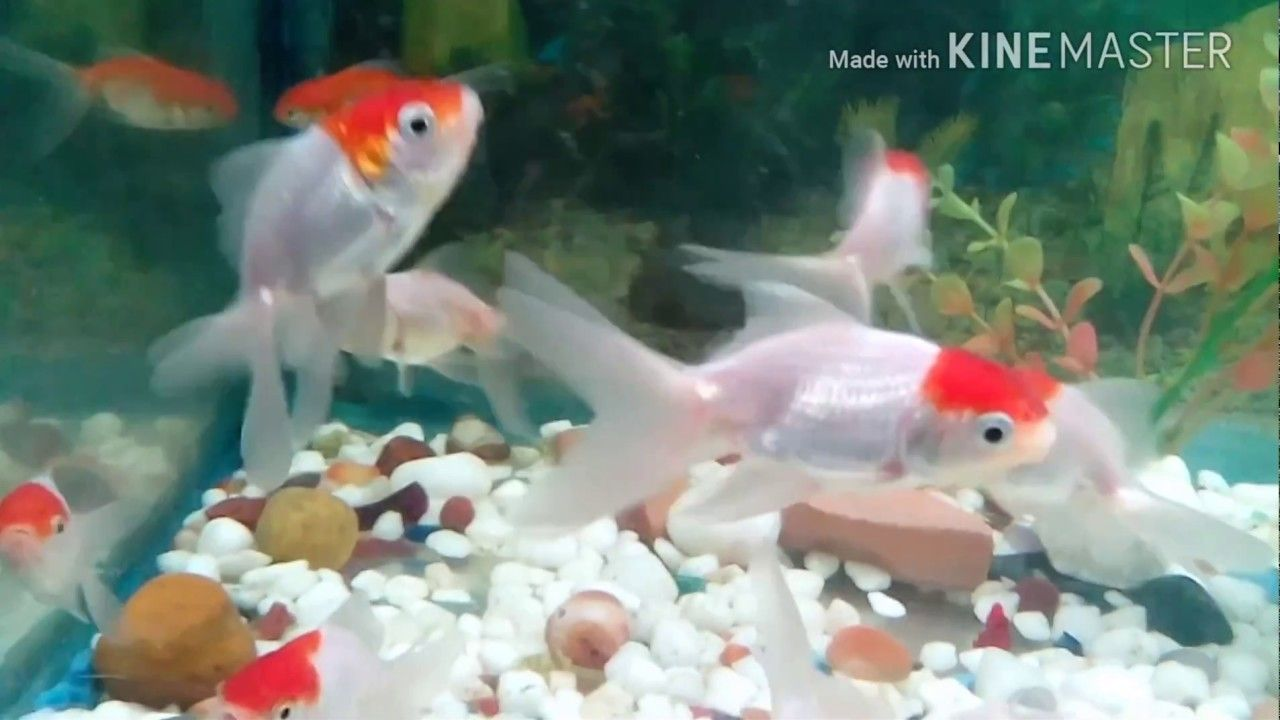 Red Cap Oranda Gold Fish New Fish Pet Goldfish Fish