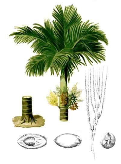 Bunga areca catechu areca nut betel nut philippine bunga areca catechu areca nut betel nut philippine medicinal herbs philippine ccuart Image collections