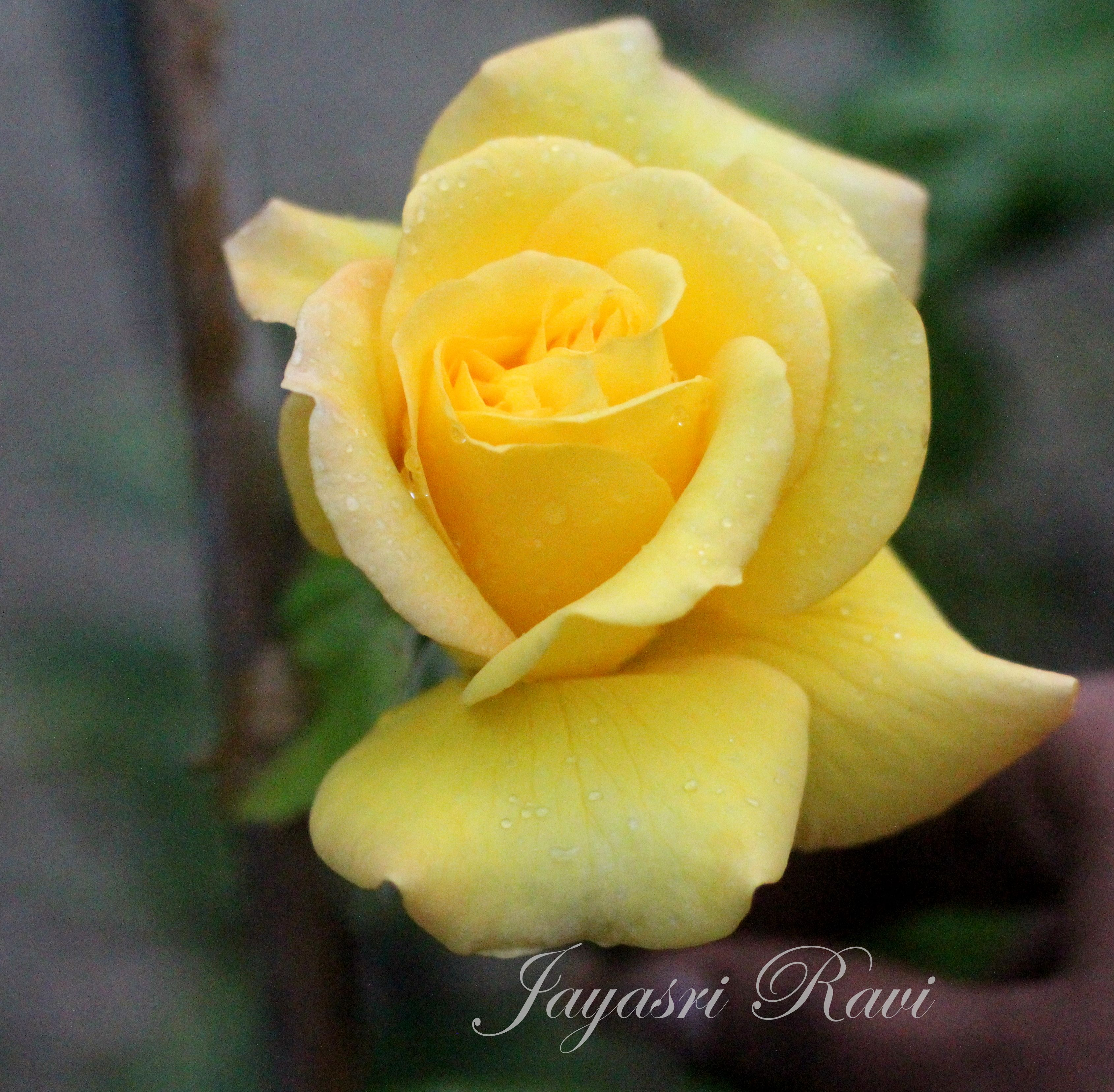 yellow Rose from my garden 2013