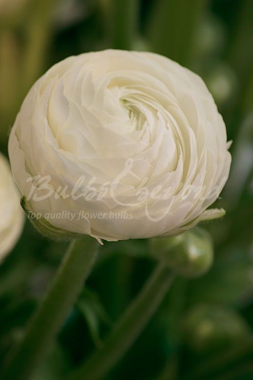 Ranunculus white summer flowering bulbs ranunculus pinterest ranunculus white mightylinksfo