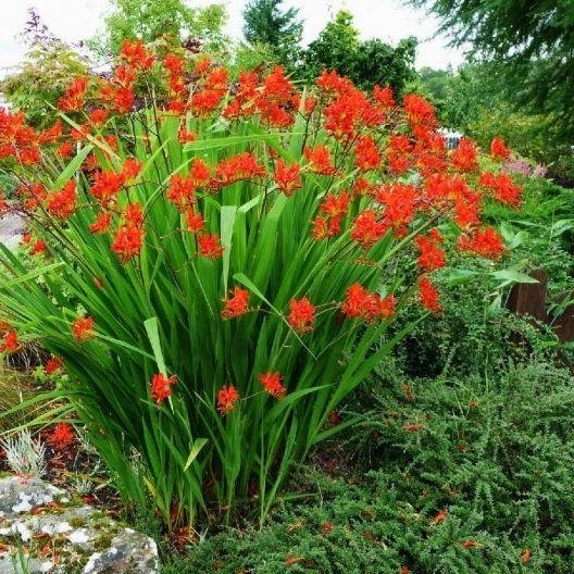 Crocosmia Bulbs Lucifer mid summer Garten Pinterest