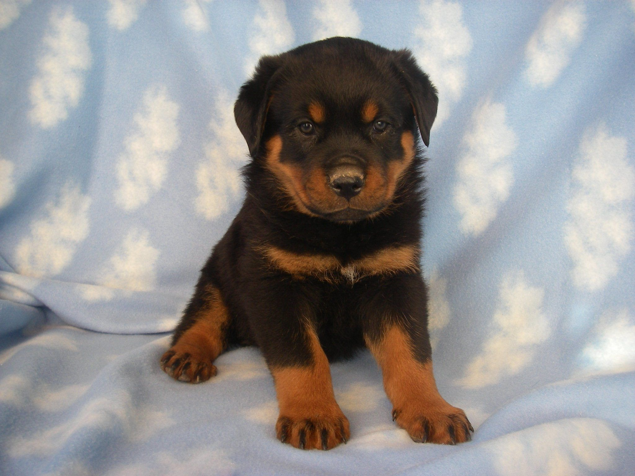 Pets Station 2015 Pets Station Rottweiler Mix Puppies Rottweiler Mix Puppy Dog Pictures