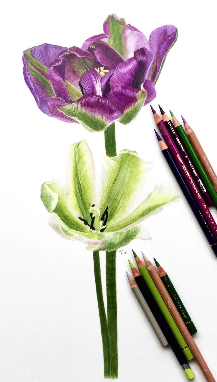 Jennifer Morrison Art Is Creating Botanical Colored Pencil Drawing