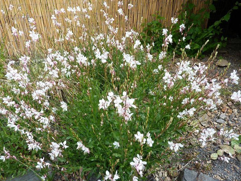 Gaura lindheimeri white gardens perennials and plants for Dream plants for the natural garden