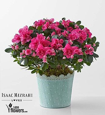 Indoor Azalea Care Tips Planting Growing Pruning Azaleas Azaleas Care Pruning Azaleas Plants