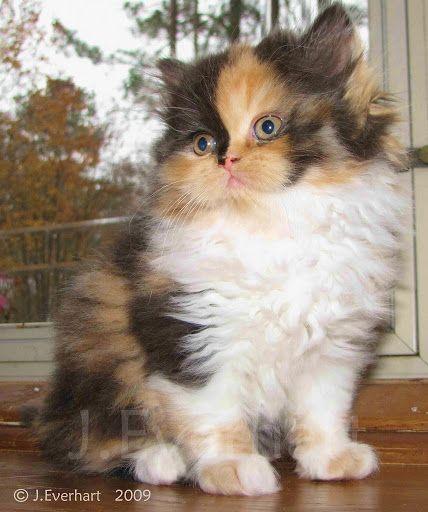 Lily Beautiful Calico Persian Kitten Cats Persian Kittens