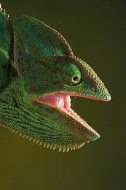 23f7371a329e79aca99c75c99d68dd40 - How To Get A Chameleon To Open Its Mouth