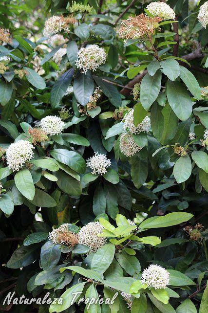 Vista del arbusto corona de novia o ixora blanca ixora for Planta ornamental blanca nieves