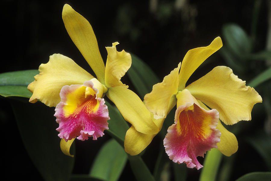 Yellow Cattleya Orchids By Greg Vaughn Cattleya Orchid Orchids Cattleya