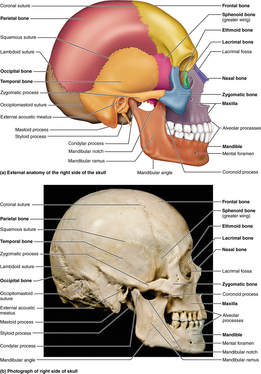 medium resolution of part 1 the axial skeleton 7 1 the skull consists of 8 cranial skeleton skull diagram