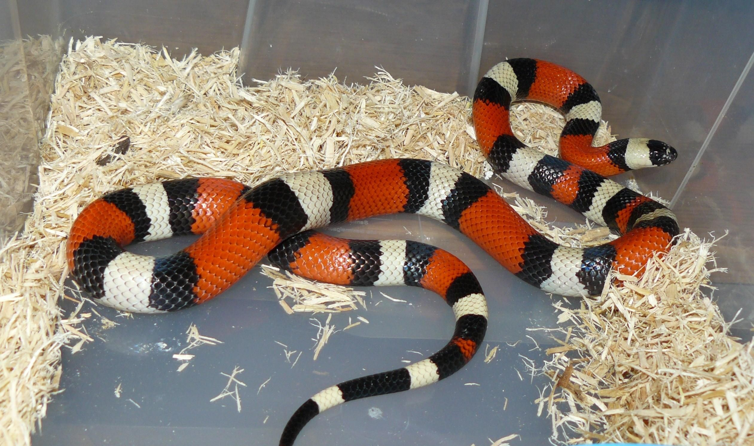 How To Care For A Milk Snake Milk Snake Snake Pet Snake