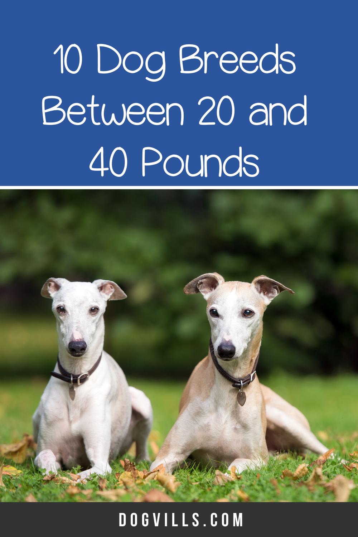 Top 10 Medium Dog Breeds Between 20 And 40 Pounds Dogvills In 2020 Dog Breeds Medium Dog Breeds Mini Dogs Breeds