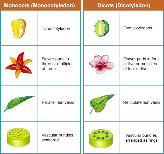 monocot vs dicot worksheet stinksnthings. Black Bedroom Furniture Sets. Home Design Ideas