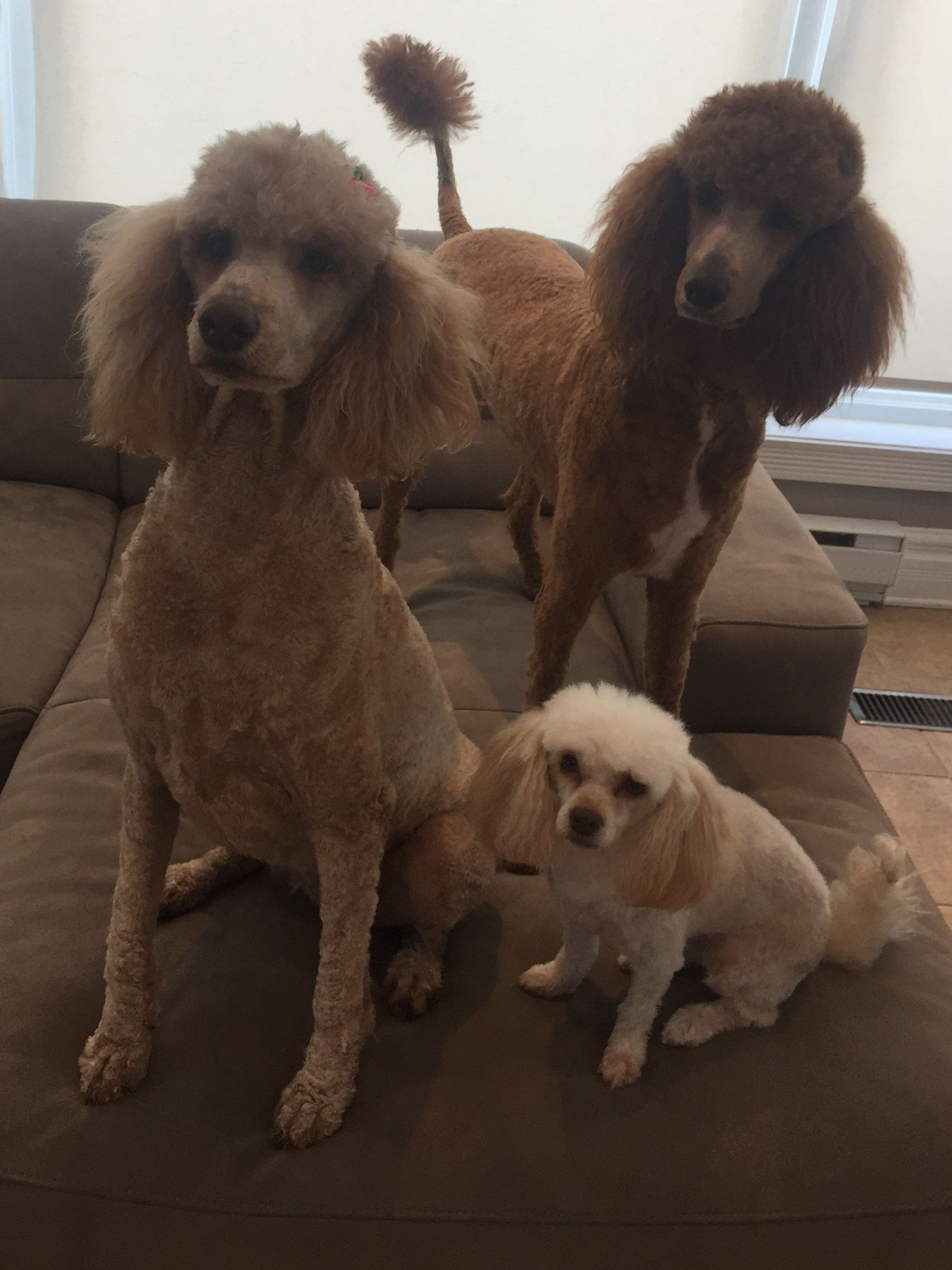 Standard Poodles Miniature Poodle Baby Bella And Storm