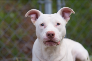 Unadoptable Pup Finds Surprising Job In Law Enforcement Pup White Pitbull Cute Pup