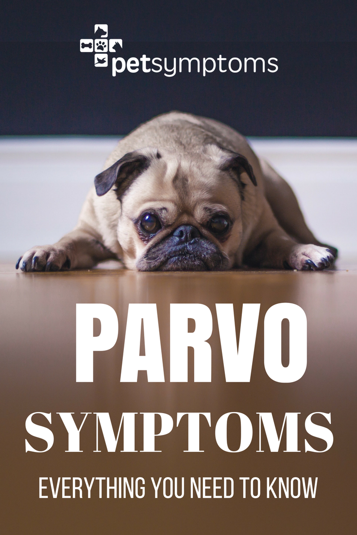 Parvo Symptoms Everything You Need To Know Parvo Symptoms Parvo Parvo Remedies
