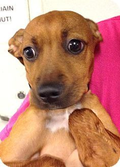 Westampton Nj Dachshund Mix Meet Riley D 60656 A Puppy For Adoption And We Have A Puppy Not Ju Kitten Adoption Puppy Adoption Dachshund Mix