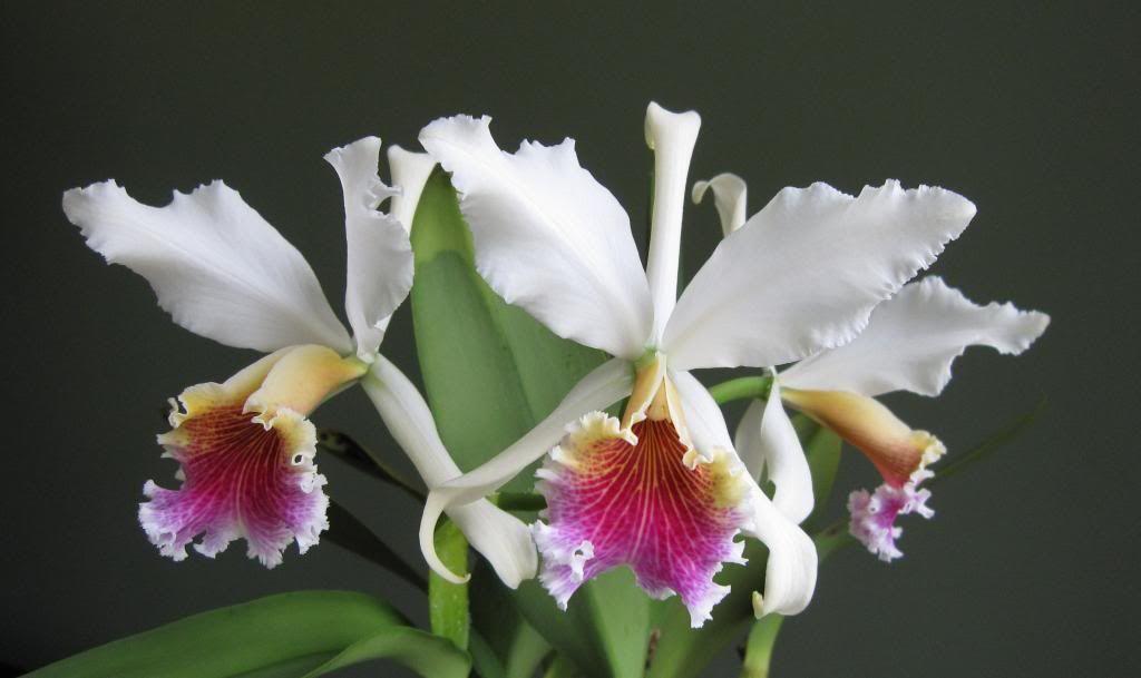 Logeesplants Mini Cattleya Orchid Aki Tori Has Vibrant Orange Blooms With Yellow Highlights In The Petals