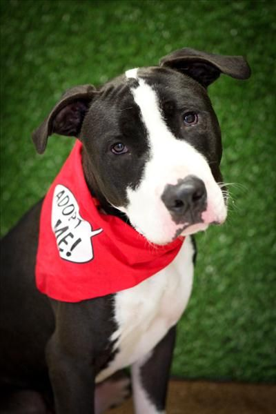 Hey I M Max I Am A Handsome Young American Staffy I M A Lovable Boy Who Craves Cuddles And Play Time Do You Have The Time To Take Adoption Animals Pet Care