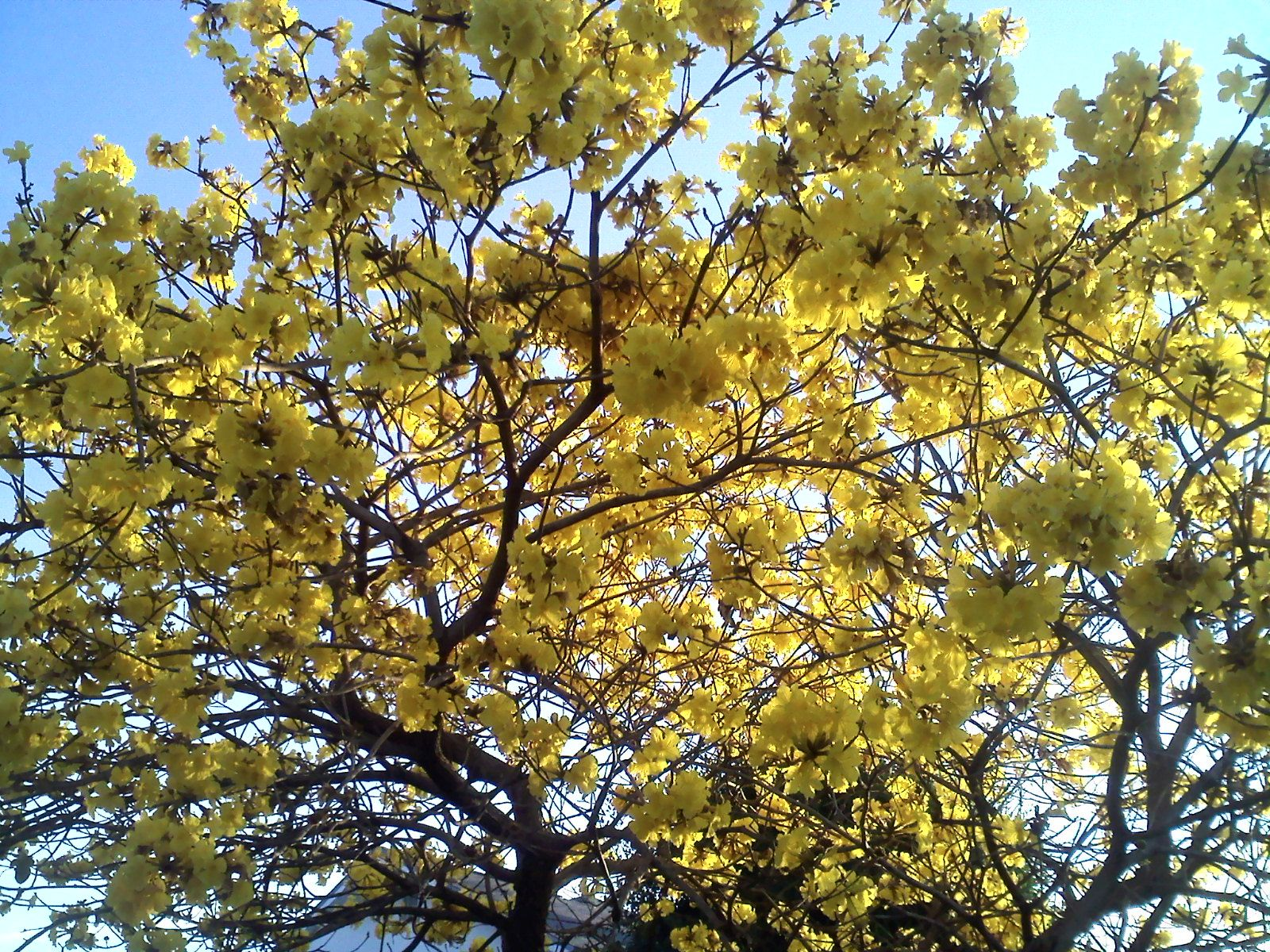 yellow bloom tree florida