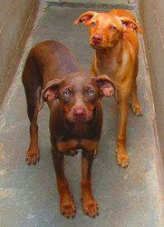Pooch Urgent Is An Adoptable Doberman Pinscher Dog In Gaffney