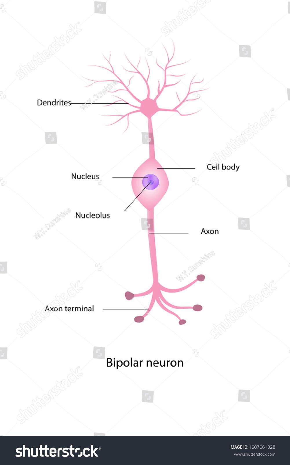 The Education Chart Of Nerve Cell Anatomy Shows Cell Body Axon Dendrite And Motor End Plate Or Sensory Organ On White Backgro In 2020 Nerve Cell Body Cells Education