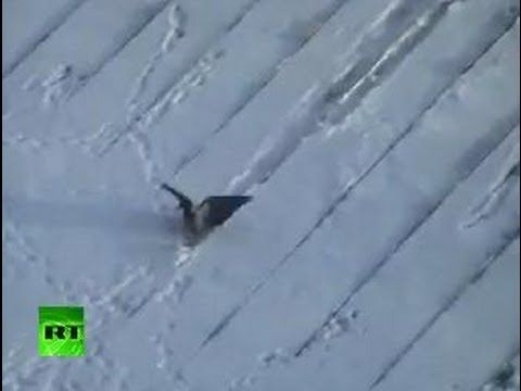 Crow Bird Surfing Down On A Snowy Rooftop Cute Amp Funny