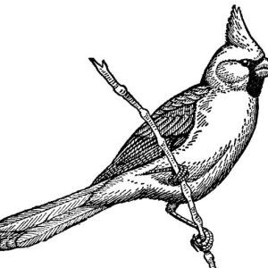 cardinal bird cardinal bird coloring page singing on tree branch