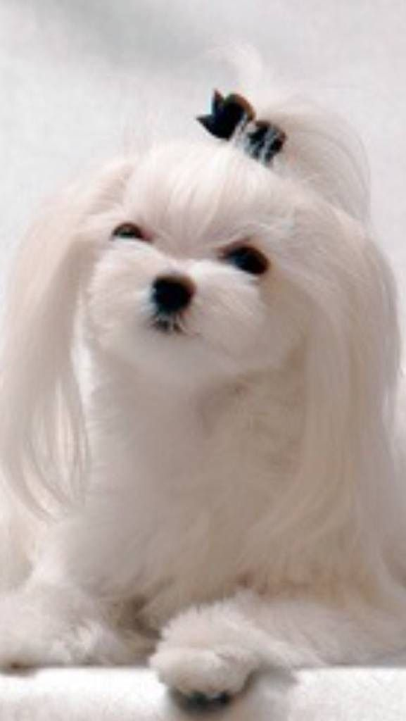 Long Ears And Hair Above Eyes Short Face Body Maltese Dogs