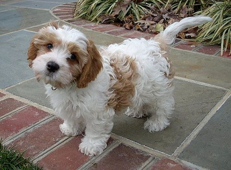 Cavachon Dog With Perfect Teddy Bear