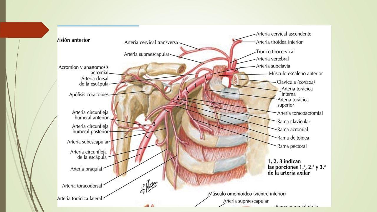 Lujoso Arteria Vertebral Segmentaria Anatomía Fotos - Imágenes de ...