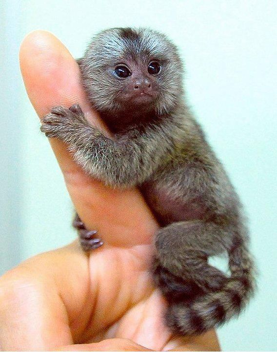 From 999 999 999 People Marmoset Monkey Monkeys For Sale Weird Animals