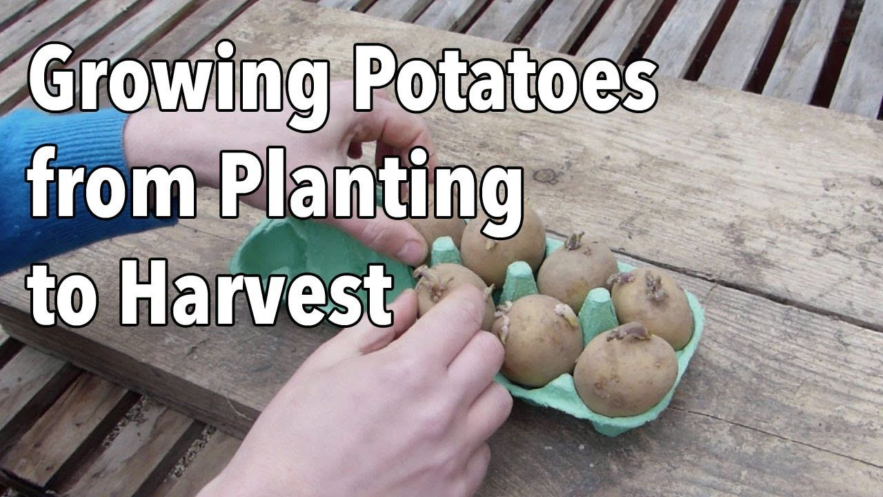 Growing Potatoes from Planting to Harvest YouTube