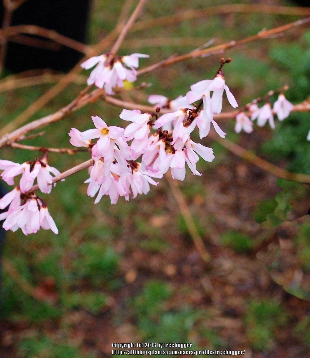 Pink Forsythia Abeliophyllum Distichum Roseum All Things