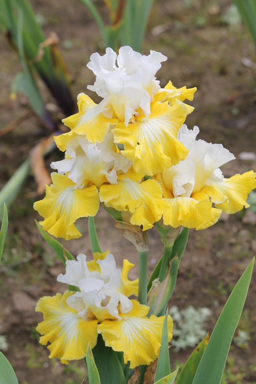 Photo of tall bearded iris iris joviality uploaded by aruba1334 photo of tall bearded iris iris joviality uploaded by aruba1334 to buy next year pinterest iris flowers and gardens izmirmasajfo
